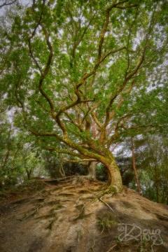 Hilltop Tree