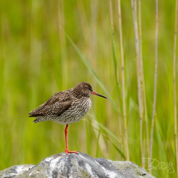Redshank With Reeds
