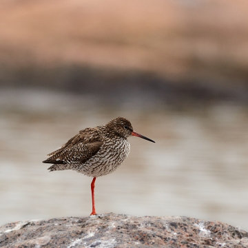 Redshank With Water