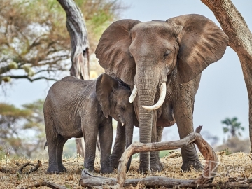 Elephant Mother Protects Calf