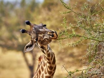 Tough Mouthful for Hungry Giraffe