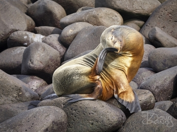 Sealion with an itchy nose