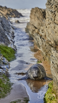 Juvenile Grey Seal Pup in Croyde Bay