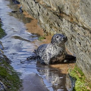Curious Grey Seal Pup