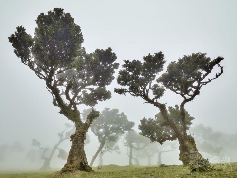 Fanal Forest Madeira